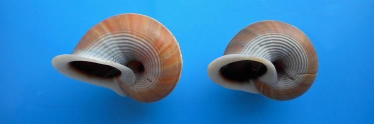 Tropidophora tricarinata multifasciata (Grateloup, 1840) Dscn9724