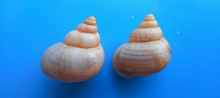 Tropidophora alluaudi pallida (Dautzenberg, 1894)  Dscn9729