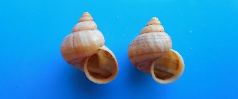 Tropidophora alluaudi pallida (Dautzenberg, 1894)  Dscn9730
