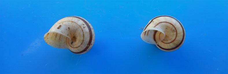Tropidophora goudotiana (Sowerby, 1843) Dscn9734