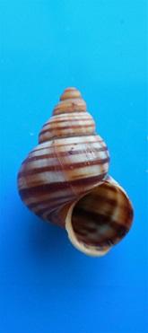 Tropidophora virgata (Sowerby, 1843) Dscn9737