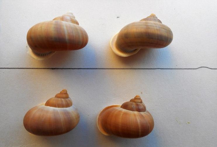Tropidophora tricarinata chenui (Fischer-Piette, 1849) Dscn9815