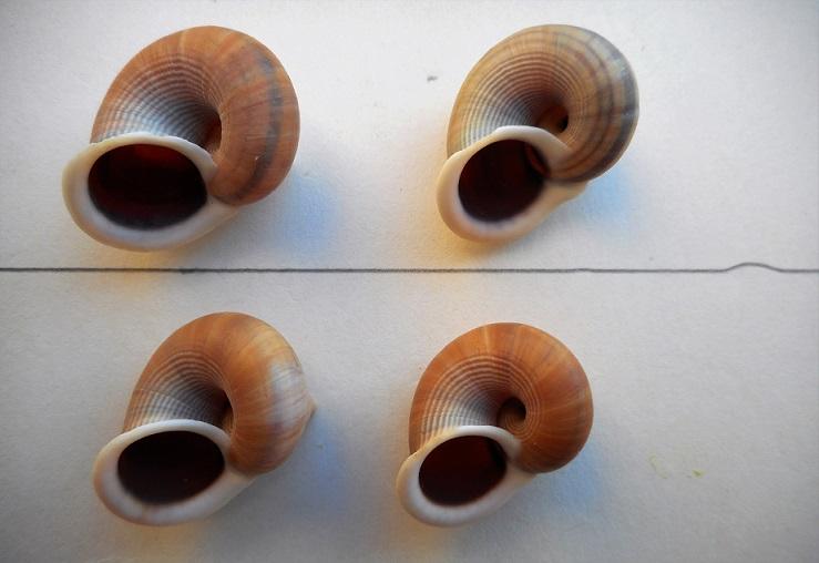 Tropidophora tricarinata chenui (Fischer-Piette, 1849) Dscn9816