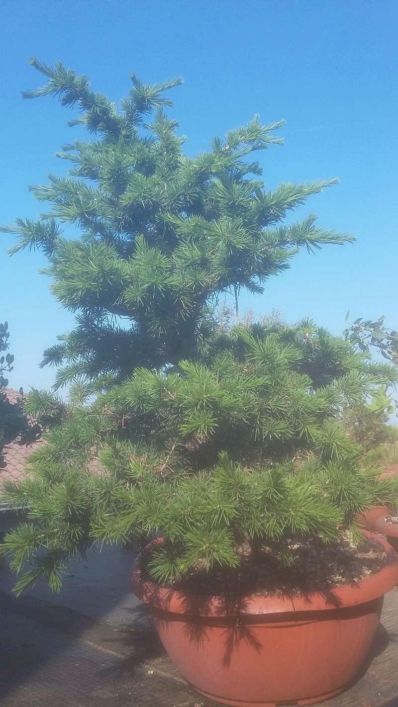 Chi coltiva il cedro del libano?? - Pagina 3 20170510