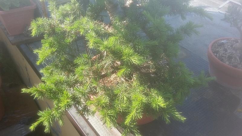 Chi coltiva il cedro del libano?? - Pagina 3 20170512