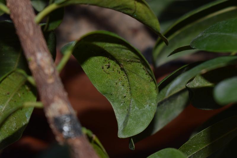 Ficus in lento peggioramento Dsc_0110