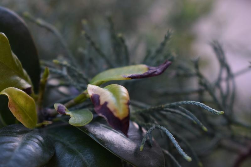 Ficus in lento peggioramento Dsc_0111