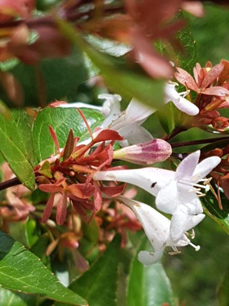 Abelia x grandiflora - Page 2 20190810