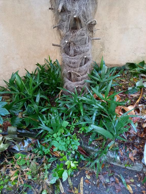 Trachycarpus fortunei - Page 12 20201212