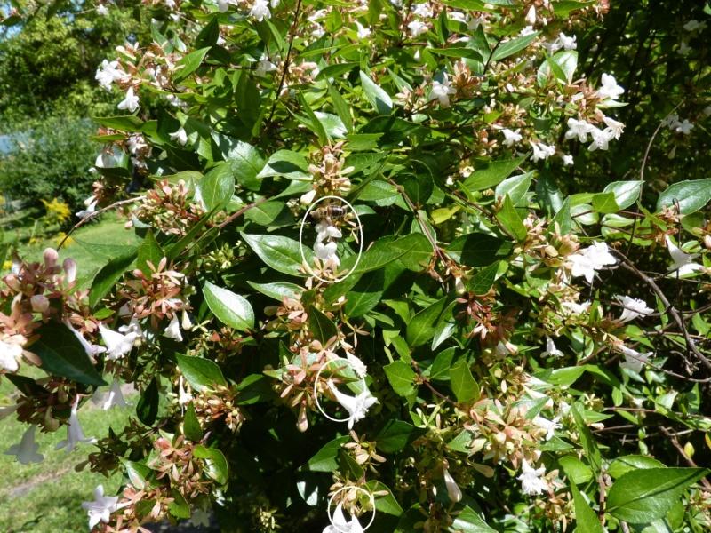 Abelia x grandiflora Abeill11