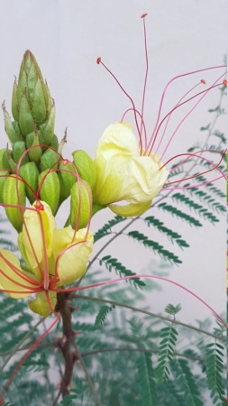 Caesalpinia gilliesii (= Poinciana gilliesii) - petit flamboyant - Page 2 Flambo12