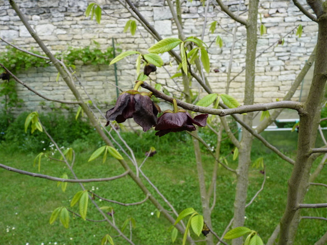 Annona cherimola - chérimolier P1020810