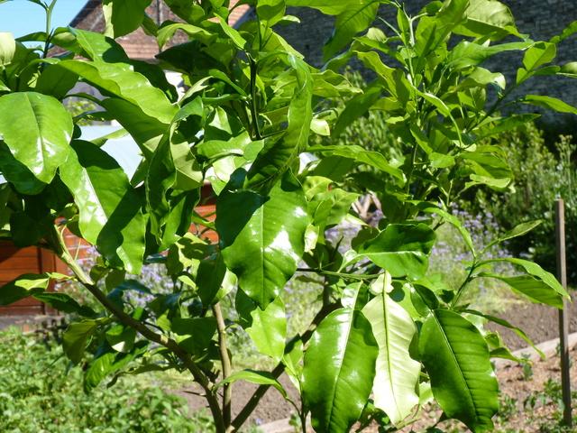 Citrus paradisi - pomélo P1050033