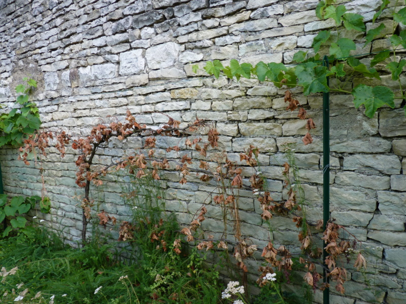 mort subite de la vigne P1050216