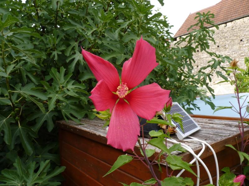 Hibiscus coccineus - Page 2 P1050316