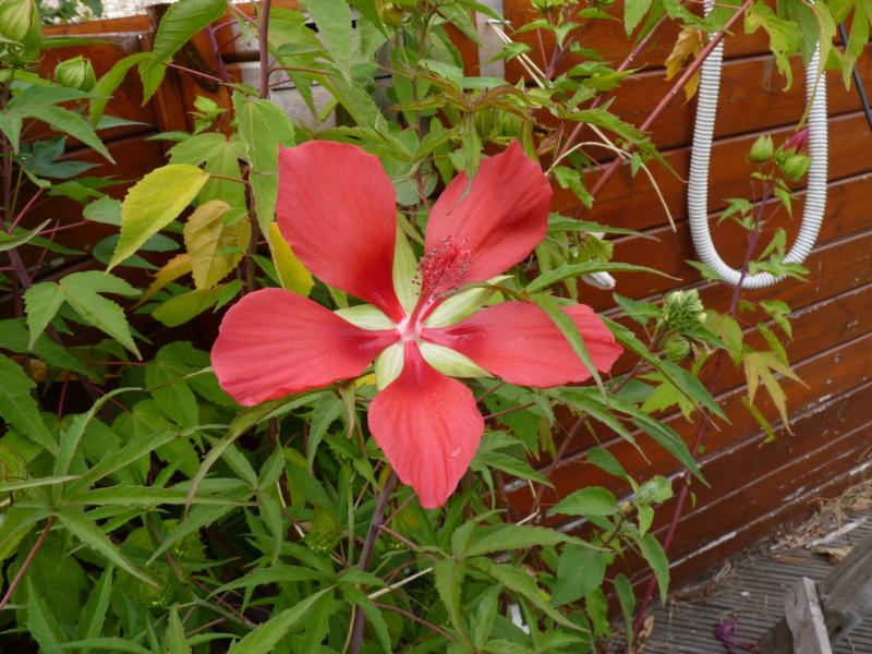 Hibiscus coccineus - Page 2 P1050317