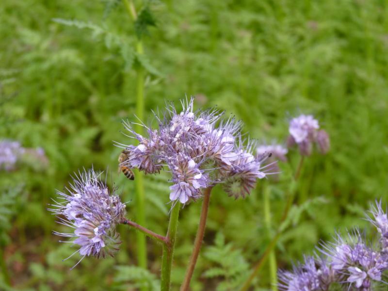 Phacélie comme herbicide P1050326