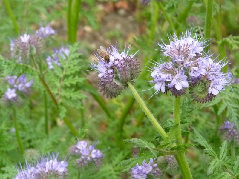 Phacélie comme herbicide P1050327