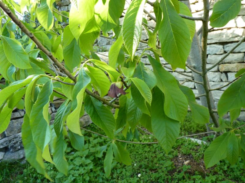 Chérimole (annona cherimola) P1050331