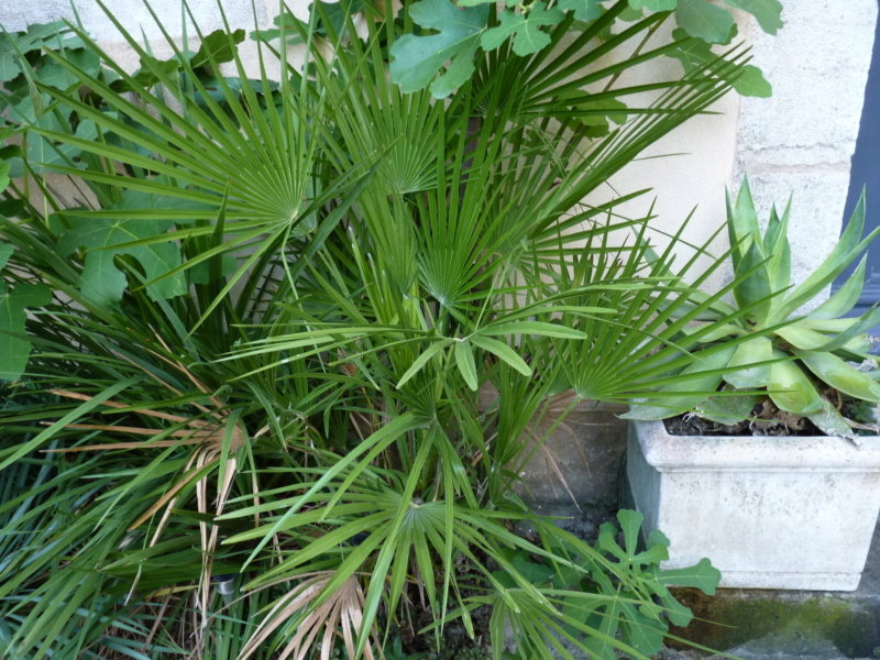 Micro-jardin : mon patio andalou P1050417