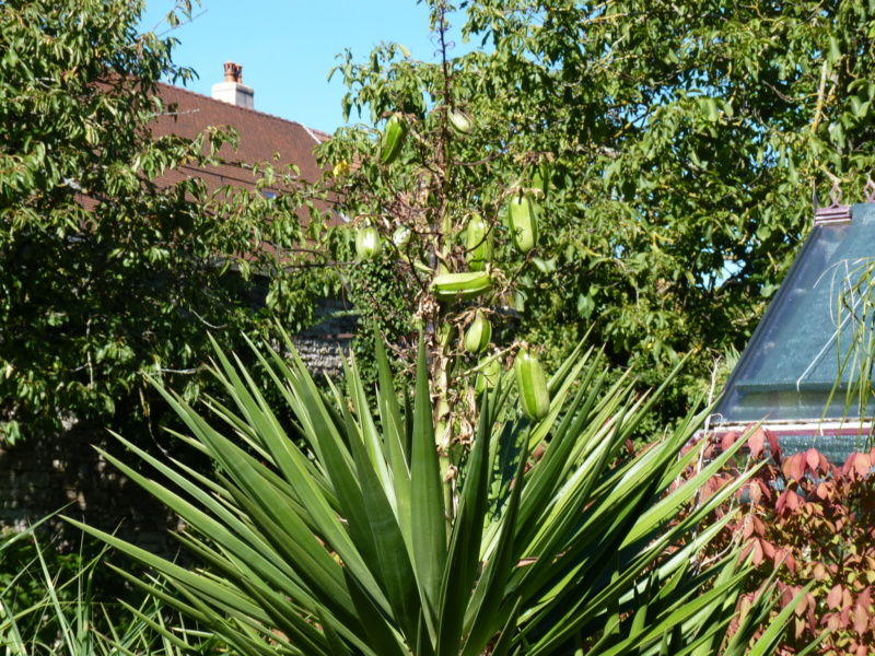 Yucca aloifolia - Page 3 P1050513