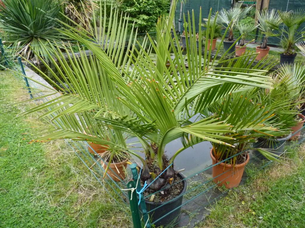 Des nouvelles de mes palmiers P1050610