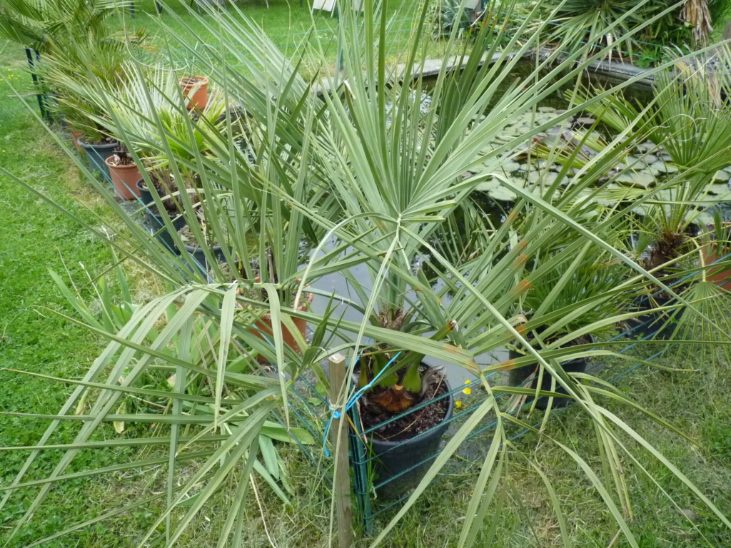 Des nouvelles de mes palmiers P1050611