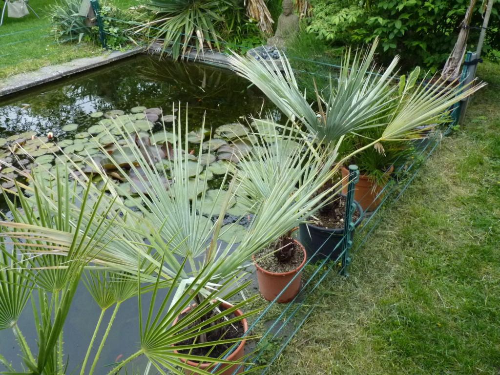 Des nouvelles de mes palmiers P1050612