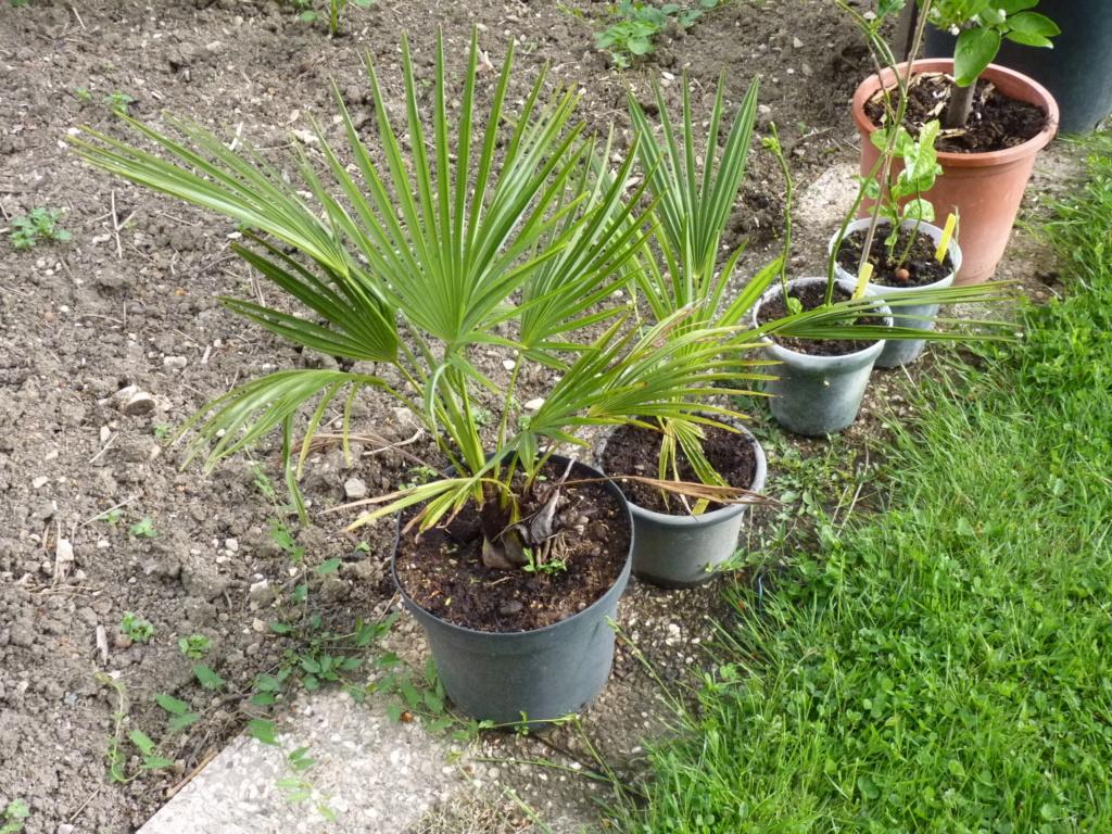 Des nouvelles de mes palmiers P1050613