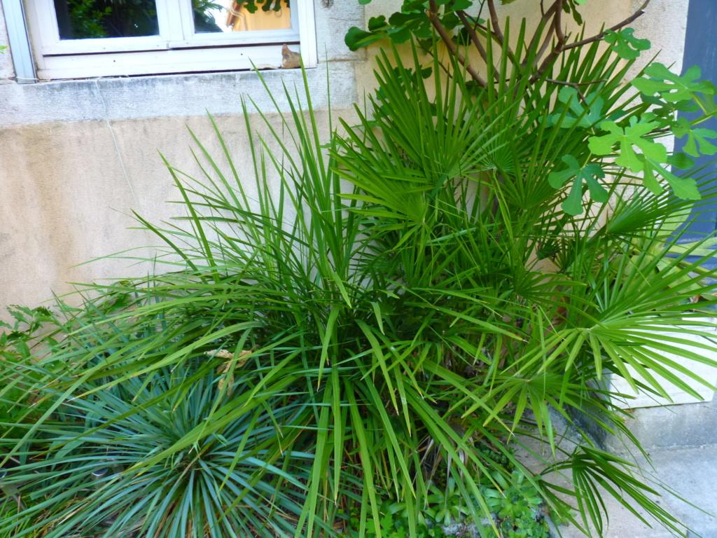Micro-jardin : mon patio andalou - Page 2 P1050619