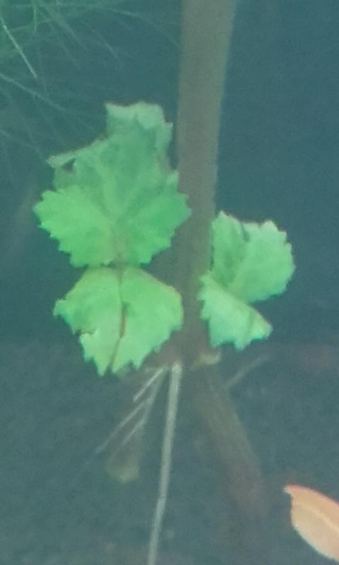Hygrophila Difformis qui ressemble toujours à de la menthe 20170211