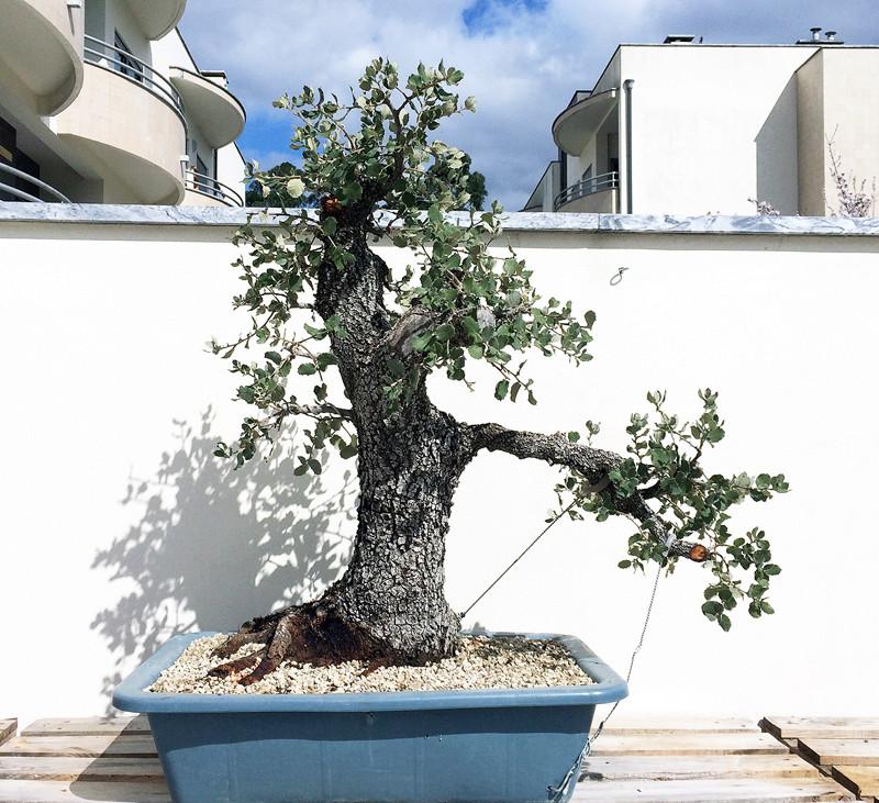 Quercus Ilex from Portugal! Azinhe11