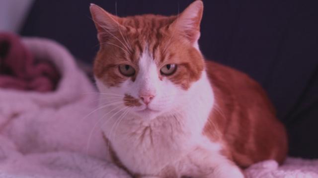 PUMPKIN- mâle senior marbré roux et blanc- FELIN POSSIBLE. Pumpki10