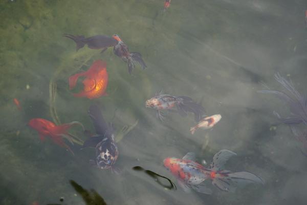 Bassin extérieur avec voiles de chine - Page 8 Dsc06518
