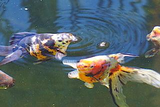 Bassin extérieur avec voiles de chine - Page 9 Dsc06937