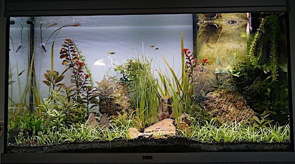 Aquarium Elégance Inox avec guppy et red cherry - Page 5 Dsc07510
