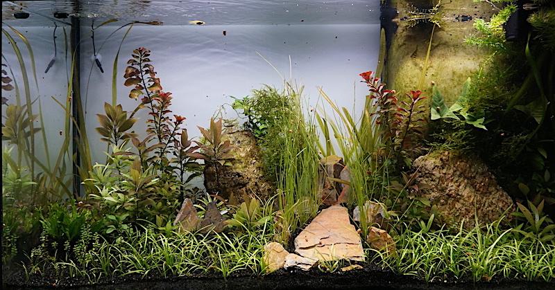 Aquarium Elégance Inox avec guppy et red cherry - Page 5 Dsc07517
