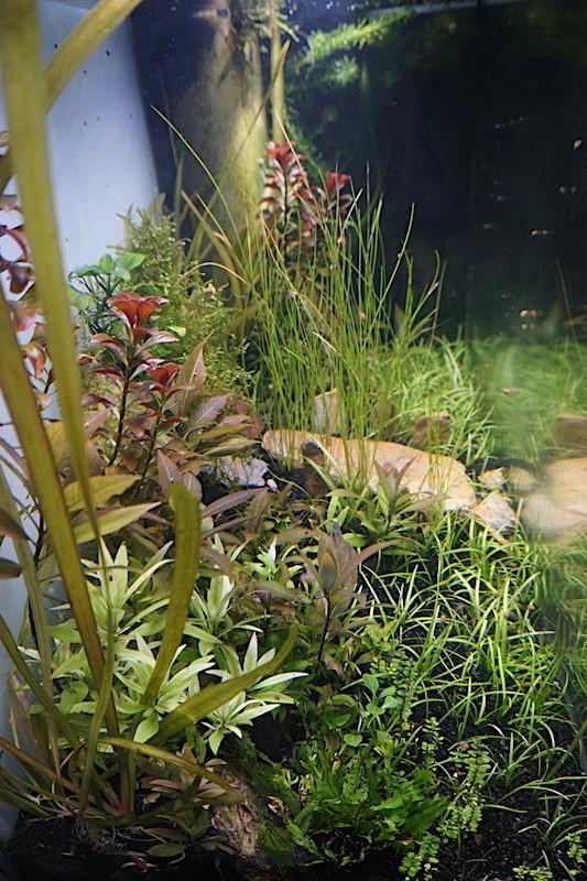 Aquarium Elégance Inox avec guppy et red cherry - Page 5 Dsc07519