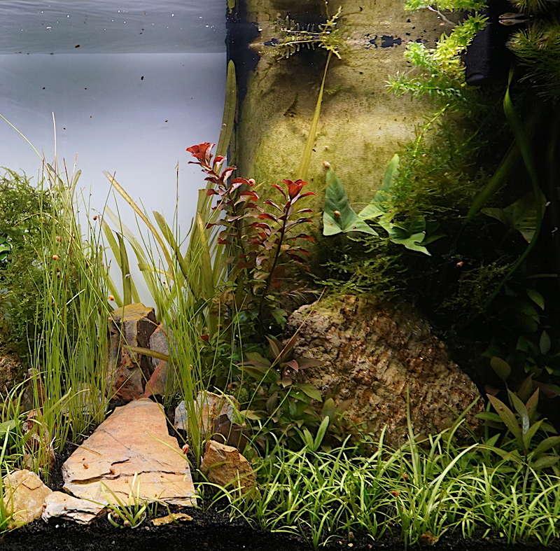 Aquarium Elégance Inox avec guppy et red cherry - Page 5 Dsc07522