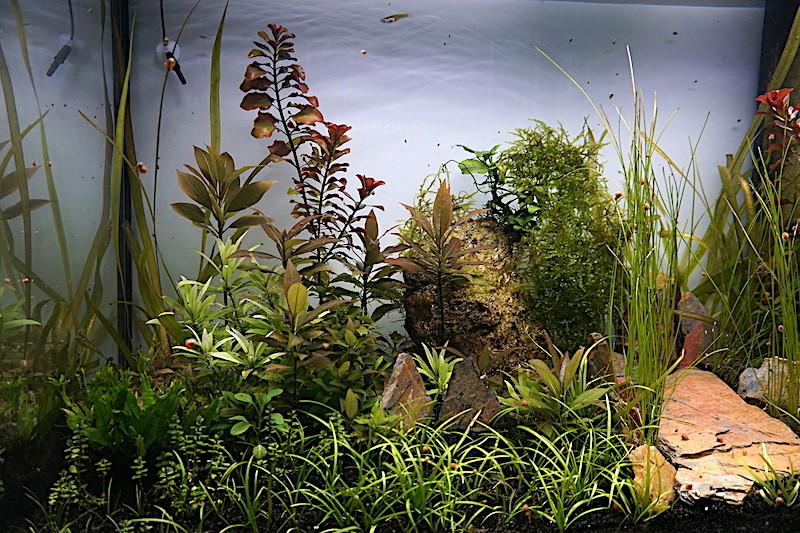Aquarium Elégance Inox avec guppy et red cherry - Page 5 Dsc07523