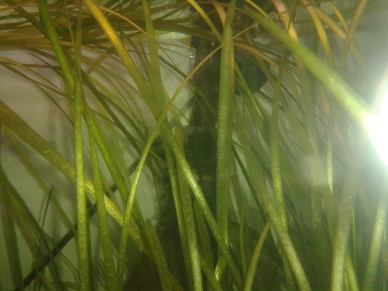 algue verte filamenteuse 20170211