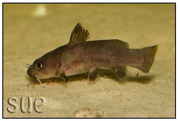 Mes bacs et mes poissons chats Lophio10