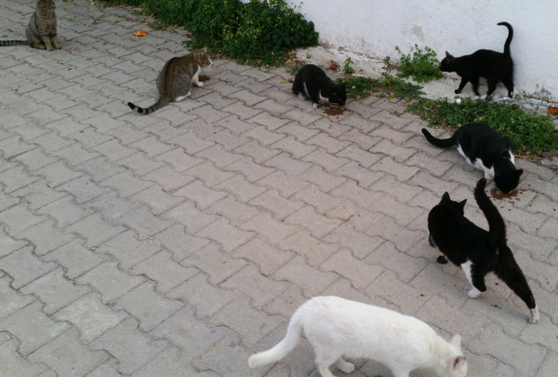 Urgence Turquie / 20 chatons beaux, très calins, de 3 mois à 2 ans max cherchent adoption et soins ! E10