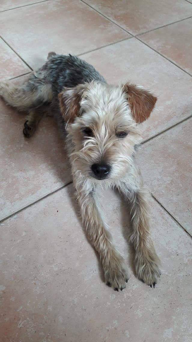 Filou 1 an et demi  croisé Yorkshire Terrier 18575710