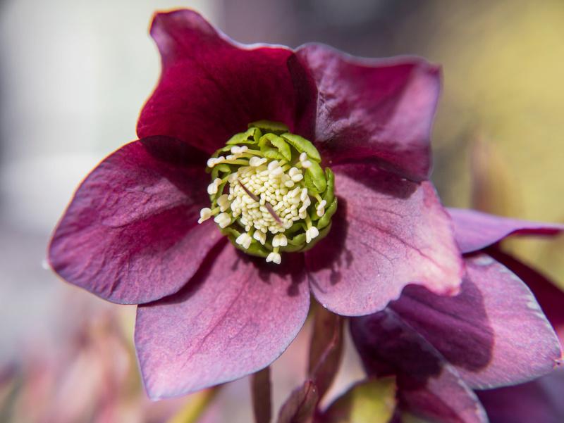 Erste Frühlingsboten im Garten und in Wald und Flur - Seite 48 P1590211