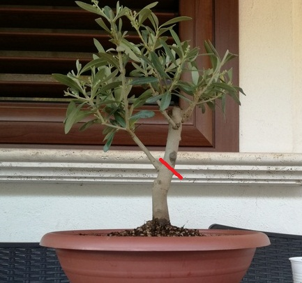 "primo ""bonsai"" di ulivo - Pagina 3 Img_2011"