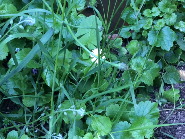 Herbes de jardin comestibles ou toxiques ? Plante18