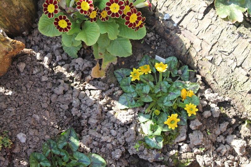 Les cultivars de Ranunculus ficaria Img_1411