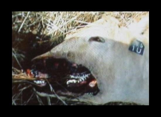 Mutilations animales 12336