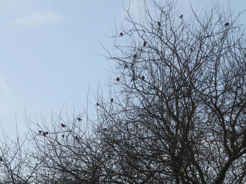 oiseaux présents cet hiver au banquet  Img_8217